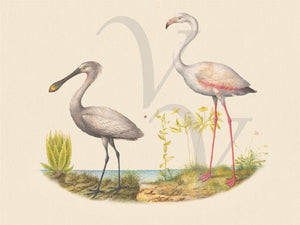 Flamingo and Spoonbill. Antique natural history birds painting. Fine Art Print