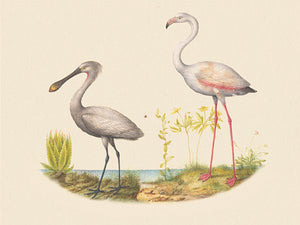 Flamingo and Spoonbill. Antique bird painting. Fine Art Print