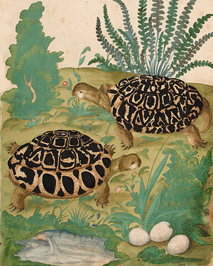 Two tortoises natural history painting. Fine art print