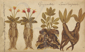 Ginger and Mandrake roots. French botanical painting. Fine art print