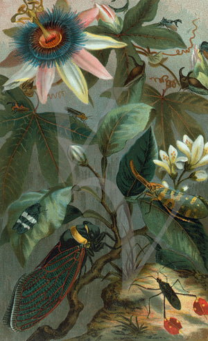 Passion Vine and Insects. Natural history illustration. Fine art print