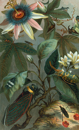 Passion Flower and Cicada. Vintage botanical illustration. Fine art print