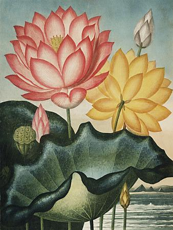 Water Lily - Botanical Art - Venus Art Prints