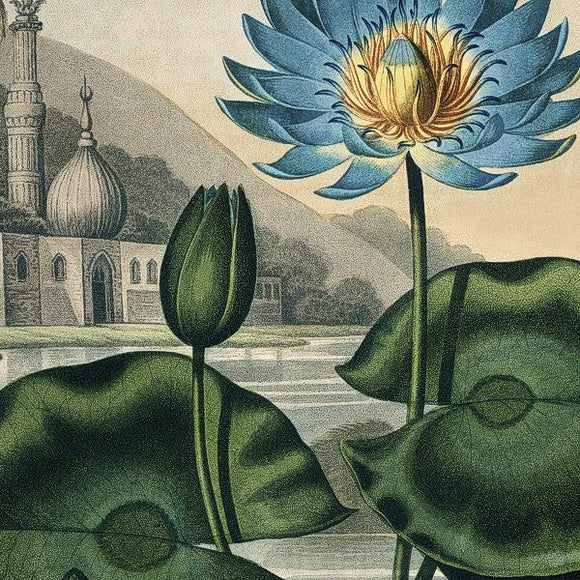 Blue Egyptian Water Lily - Venus Art Prints