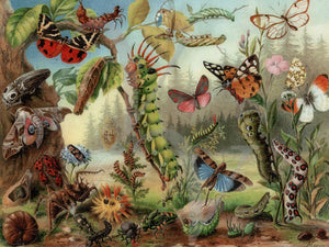 Caterpillars, Moths and Flying Insects. Vintage natural history fine art print