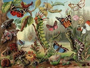 Caterpillars, Moths and Flying Insects. Antique natural history fine art print