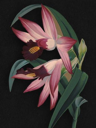 Thunia Orchids - Venus Art Prints