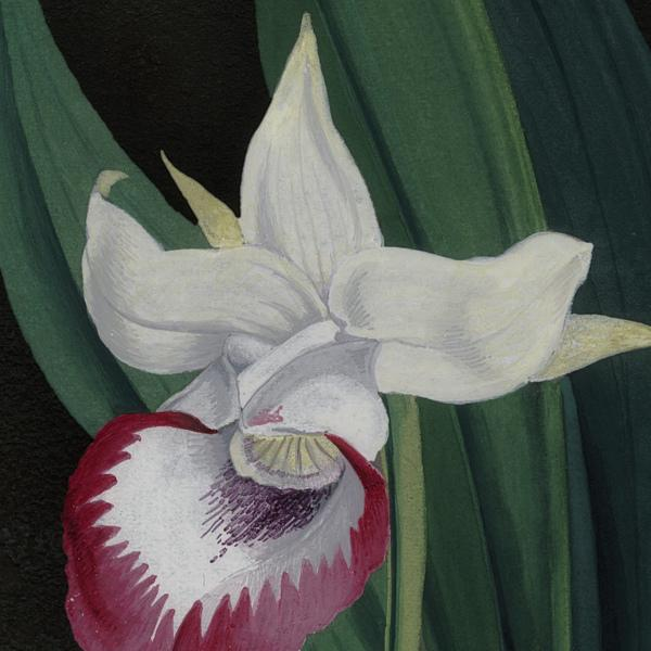 Cochleanthes Orchid