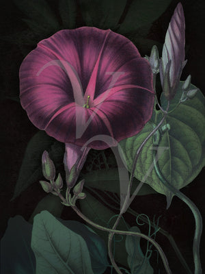 Morning Glory flower vine.  Exotic flowers, dark florals botanical art