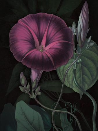 Morning Glory - Venus Art Prints
