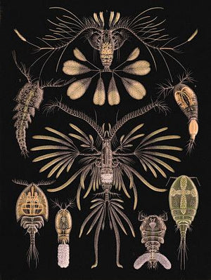 Copepods - Venus Art Prints