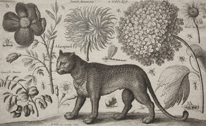 Leopard and flowers antique etching. Fine art print
