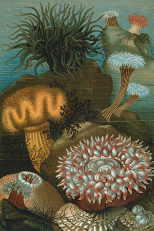 Sea Anemones. Antique natural history illustration. Fine art print