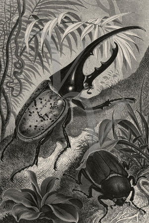 Hercules Beetle. Natural history illustration. Fine art print