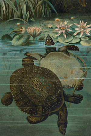 Turtles in a pond. Vintage natural history illustration. Fine art print