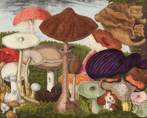 Mushrooms and Fungi. Antique natural history Illustration. Fine art print
