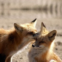 Symbolic Red Fox Adoption