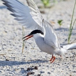 Symbolic Common Tern Adoption