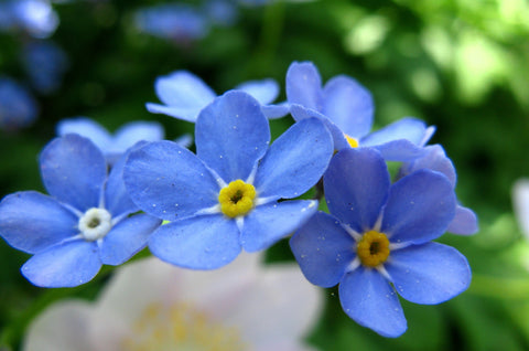 september birth flower forget-me-not