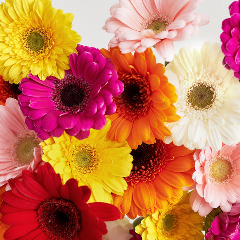 gerbera daises friendship flowers