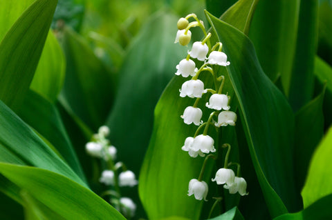 May Birth Flower: Lily of the Valley