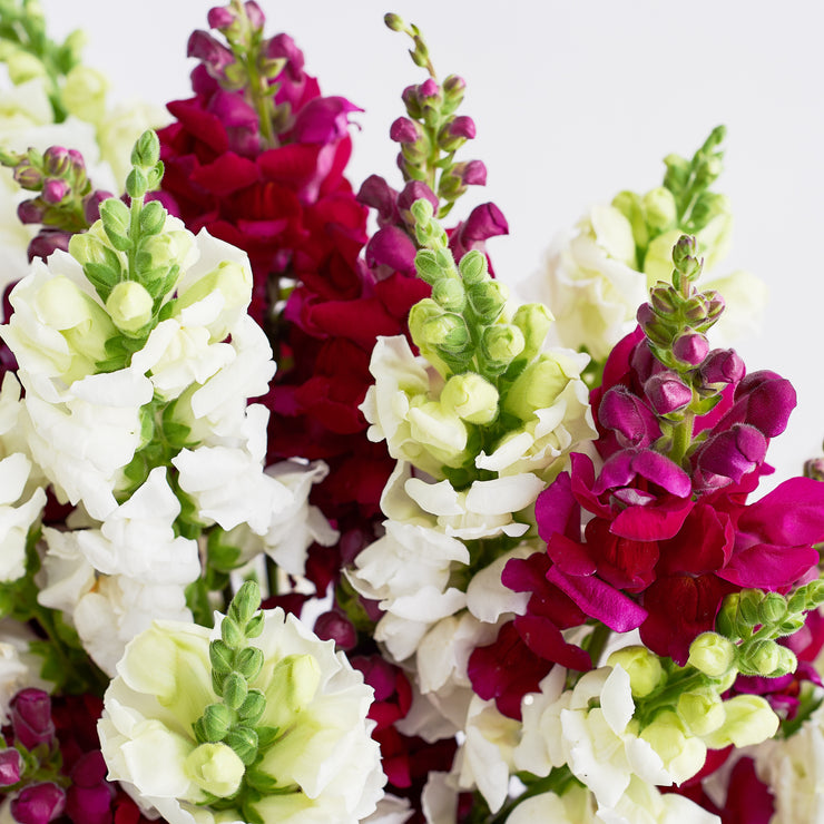 Red Velvet Snapdragons