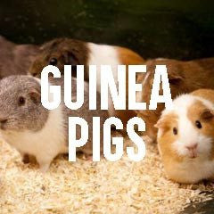 Guinea Pig Inspired Animal Jewelry and Products