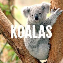 Koala Bear Inspired Animal Jewelry and Products