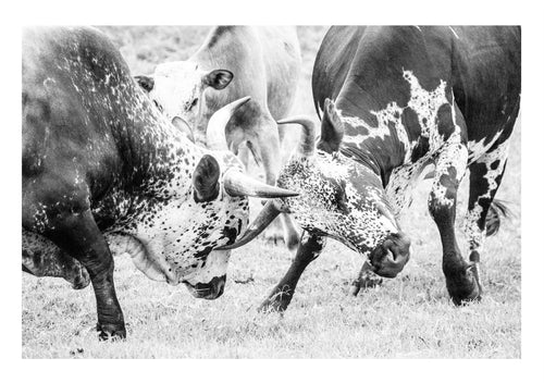 NGUNI BATTLE - anton-crone-photography