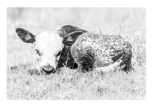 NGUNI CALF - anton-crone-photography