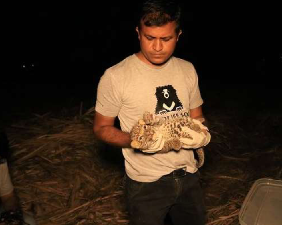 Nice Guys Comfort Lost Little Leopard Found Crying In Sugarcane Field
