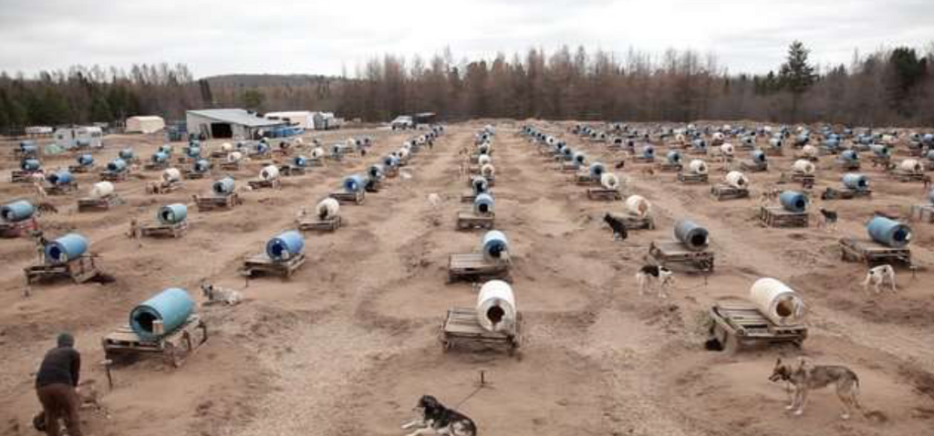 Hundreds Of 'Extra' Sled Dogs Are Being Secretly Killed, Ex-Employee Says