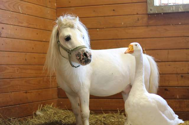 Rescued Goose And Mini Horse Refuse To Be Separated From Each Other