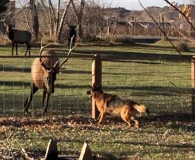 Wild Elk Has Come To Visit His Dog Friend For Years