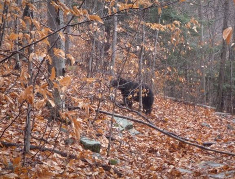 bear on hunter mountain