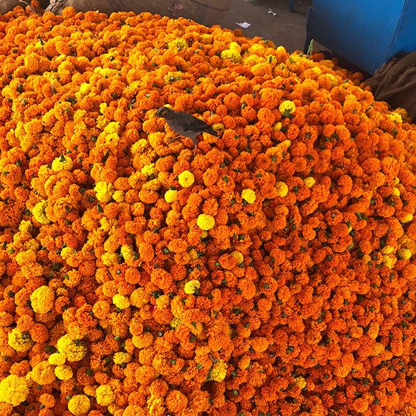 MARIGOLD LOVERS IN INDIA! 2022 (Dates to be confirmed. Please email with enquiries)