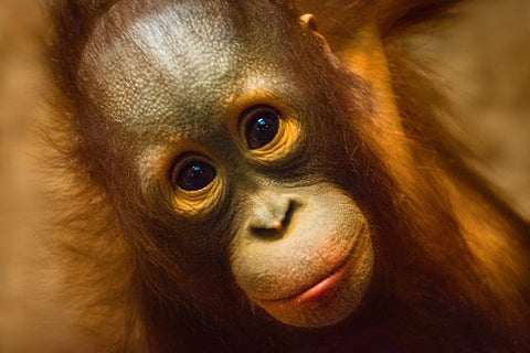 Adorable Orangutan, consider adopting an animal instead of giving physical gifts