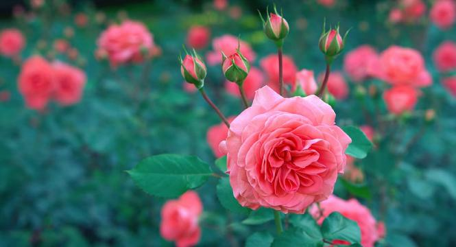 Rose Herb Benefits