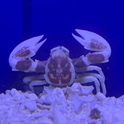 Pacific Anemone Crab