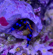 Electric Blue Hermit