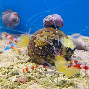 Golden / Yellow Coral Banded Shrimp