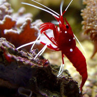 Blood (Fire) Shrimp
