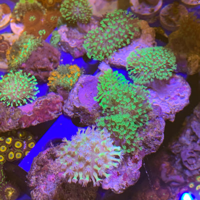 Mountain Dew Toadstool Leather Corals (aqua cultured)