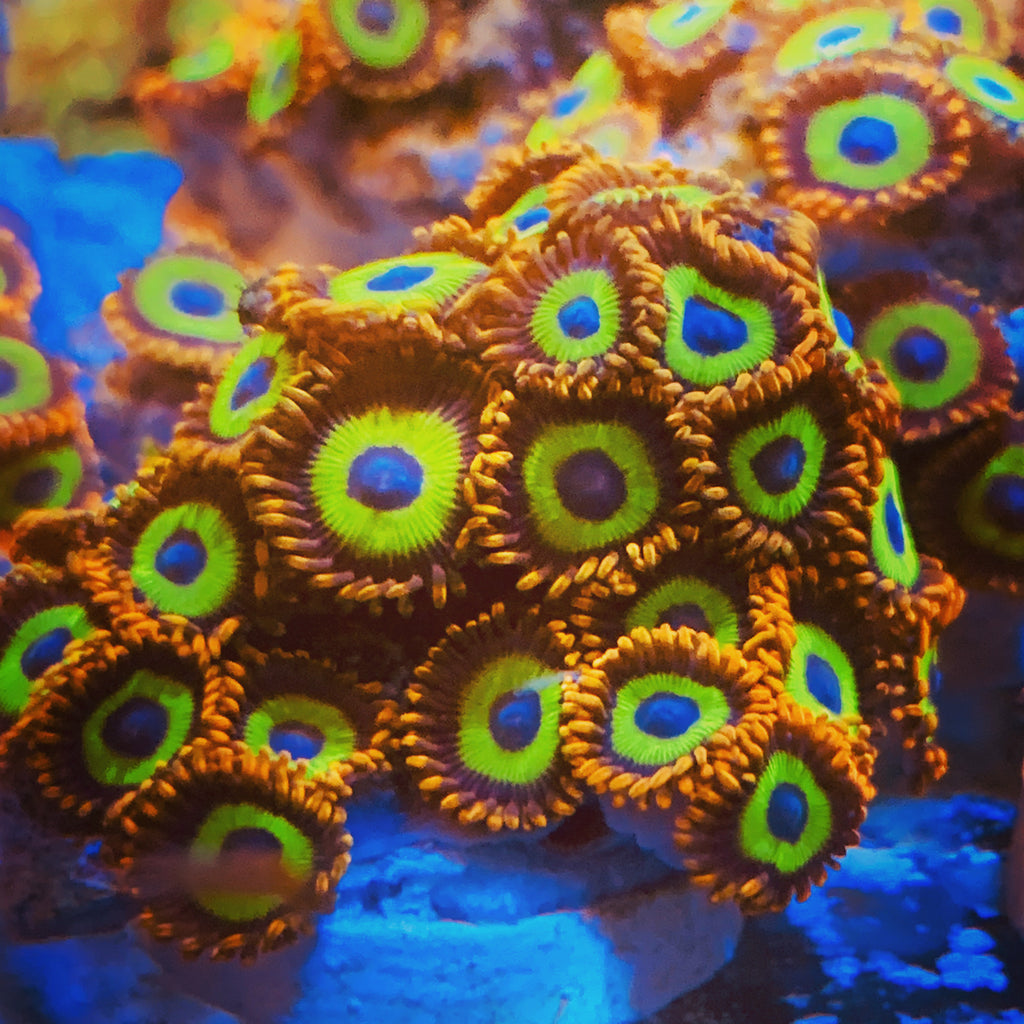 Taiwan Fruit-Loop Zoanthids