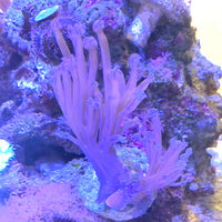 Blue / pink cespitularia