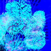 Super SALE Green Bubble Tip Anemone (2-Pack)