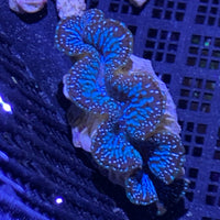 Super Ultra Tridacna Maxima Clams 2.5""