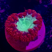 Blastomussa Frags