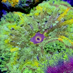 Mini-Max Carpet Anemone SUPER SALE