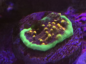 Starry Night Chalice Coral 1""